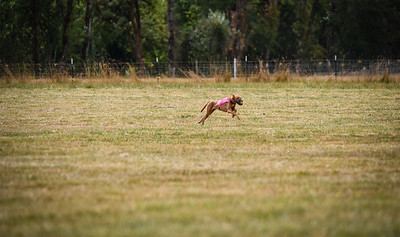 pharoahhound-11