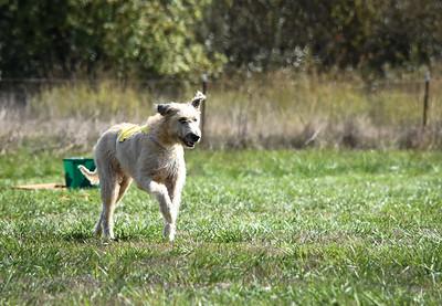 sunfinalirishwolfhound-4