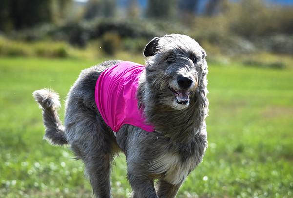sunfinalirishwolfhound-14