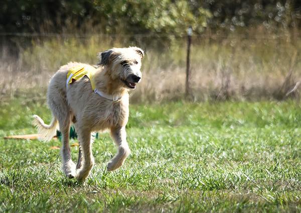 sunfinalirishwolfhound-3
