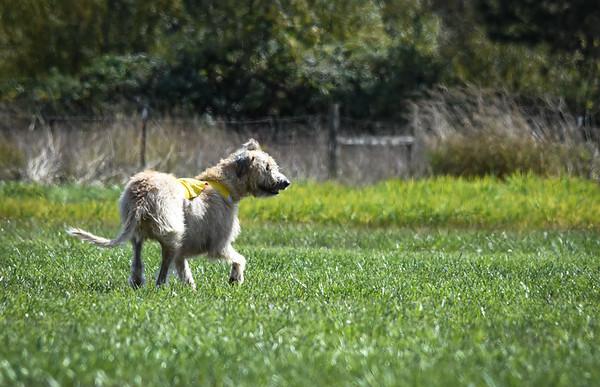 sunfinalirishwolfhound-11