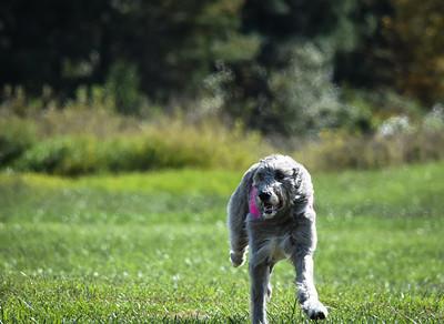 sunfinalirishwolfhound-12