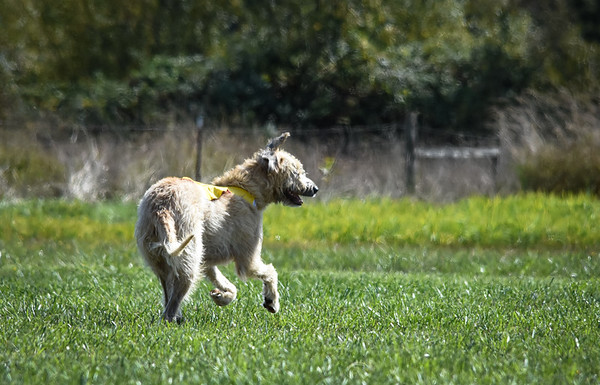 sunfinalirishwolfhound-10