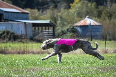 sunfinalirishwolfhound-6