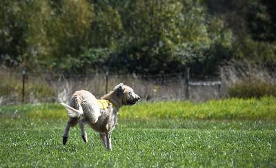 sunfinalirishwolfhound-9