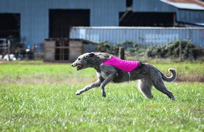sunfinalirishwolfhound-7
