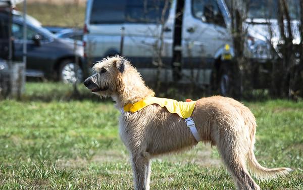 sunfinalirishwolfhound-15
