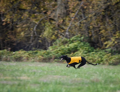 satbobgreyhound-10