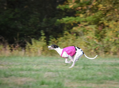 satbobgreyhound-5