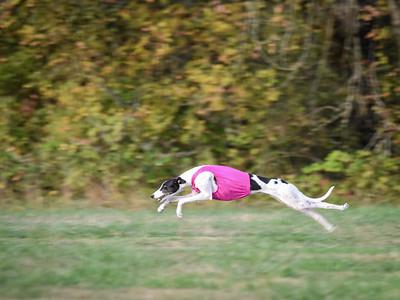 satbobgreyhound-4