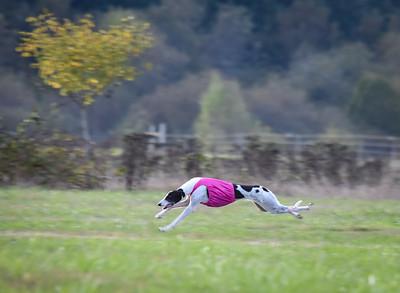 satbobgreyhound-11