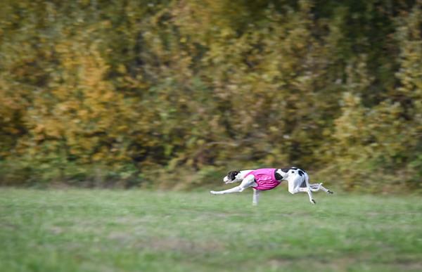 satbobgreyhound-7