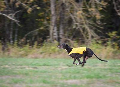 satbobgreyhound-6