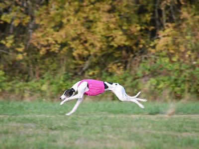 satbobgreyhound-3