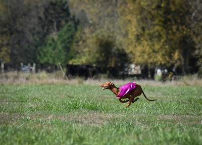 satfinalpharoahhound1-12