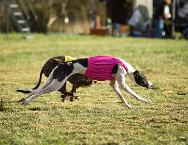 sunbobgreyhound-2