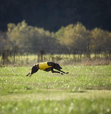sunbobgreyhound-7