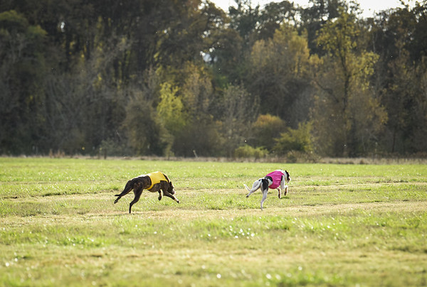 sunbobgreyhound-3
