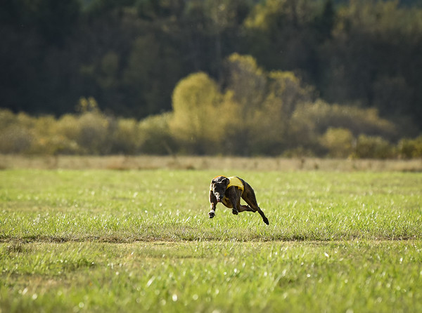 sunbobgreyhound-8