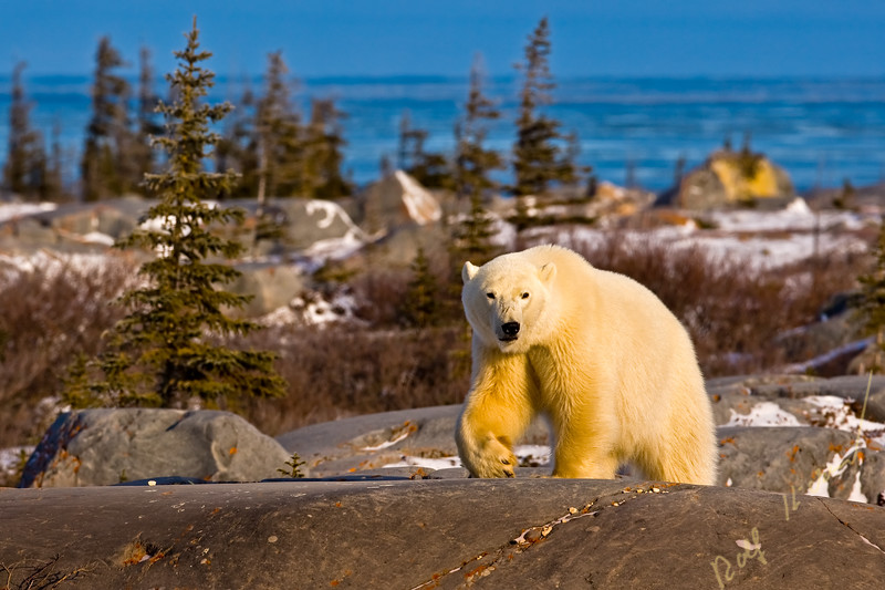 Polar Bear, Ursus maritimus, near Hudson Bay, Churchill, Manitoba, Canada.