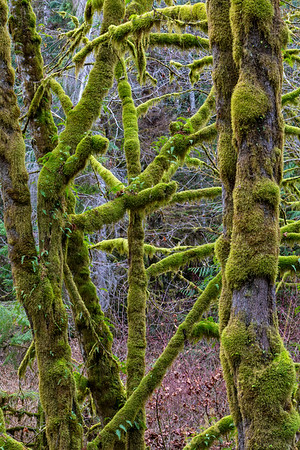 Maple trees covered in a layer of winter moss along Nimpkish Lake, First Nations Territory, British Columbia, Canada.