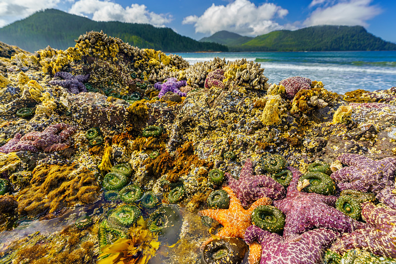 Tidepool with starfish, sea anemones, barnacles and mussels along the west coast at San Josef Bay in Cape Scott Provicial Park, Vancouver Island, British Columbia, Canada.