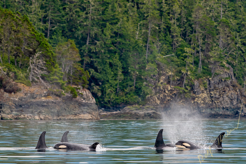 A54, A106, A118, A86,A75, northern resident killer whales, Orcinus orca, Johnstone Strait, First Nations Territory, British Columbia, Canada.