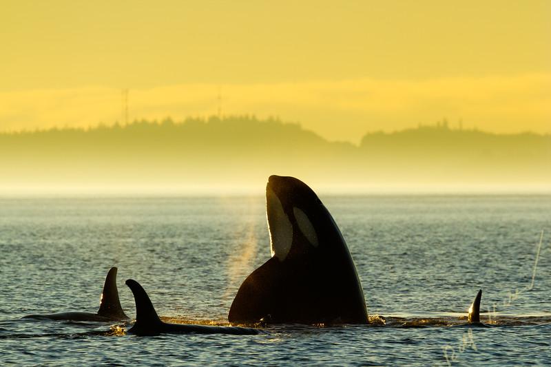 Killerwale in der Johnstone Strait