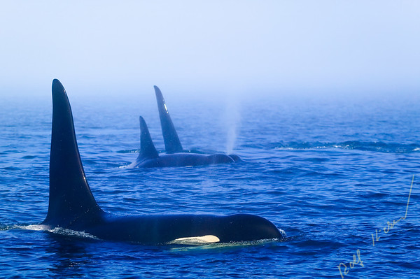 Northern resident Killer Whale (Orcinus orca) family traveling through the fog.