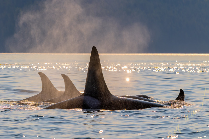 A fmily pod of northern resident killer whales traveling in Johnstone Strait in early evening off Vancouver Island, British Columbia, Canada.