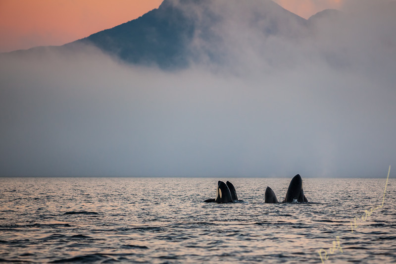 Group of resident killer whales (Orcinus orca) in Johnstone Strait off Vancouver Island, British Columbia, Canada.