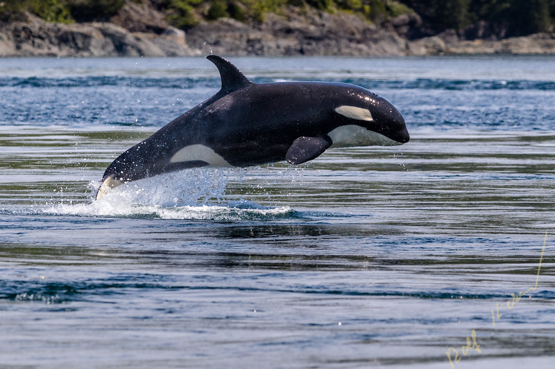 Killer whale breaching off Donegal Head of Malcolm Island, British Columbia, Canada.