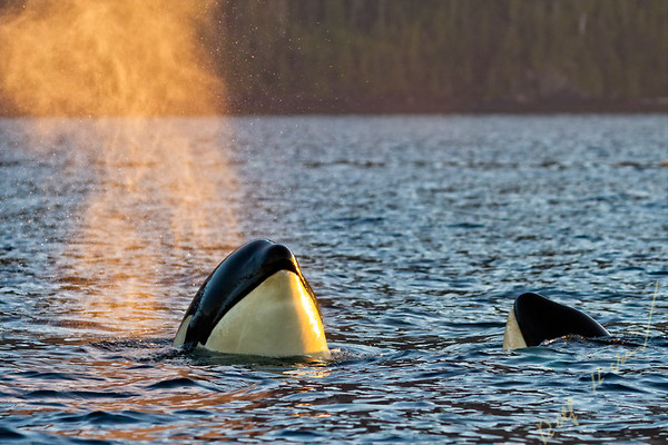 Resident killer whale spy hopping in Johnstone Strait, British Columbia, Canada