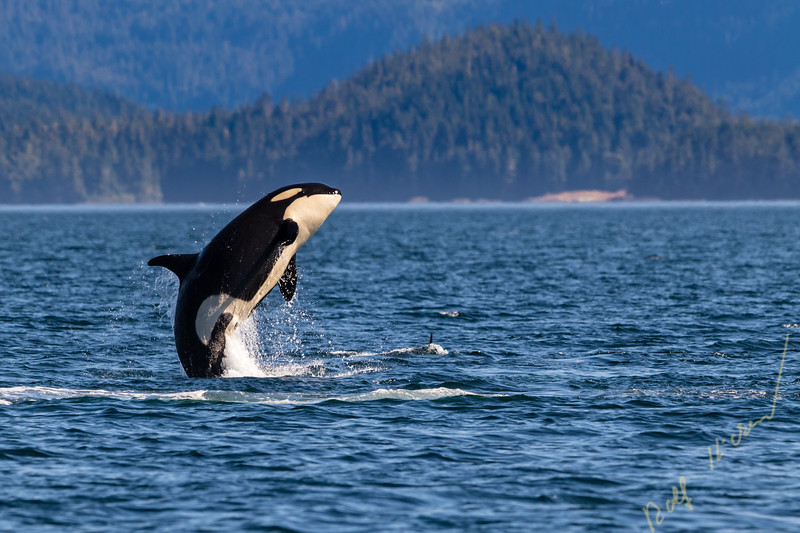 Northern resident killer whale breaching in front of Swanson Island off Northern Vancouver Island, British Columbia, Canada.
