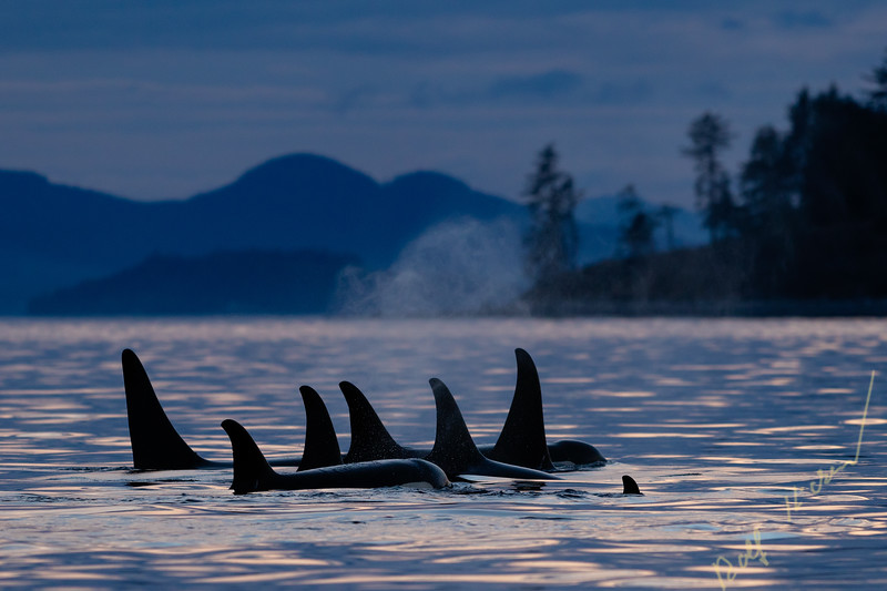 Northern resident killer whales (Orcinus orca) A24's and A36's in a tight resting line around Donegal Head, west of Blackfish Sound off Vancouver Island, First Nations Territory, British Columbia, Canada.