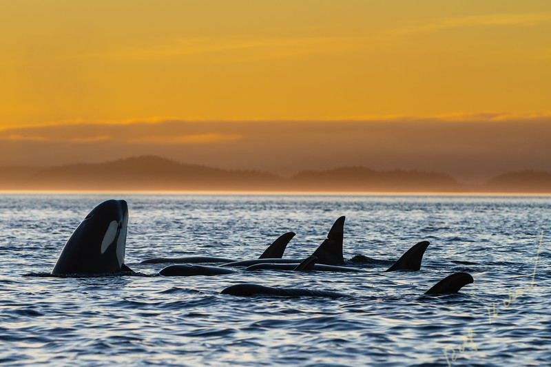 Resting family group of resident killer whales (Orcinus orca) during sunset in Johnstone Strait off Vancouver Island, British Columbia, Canada.