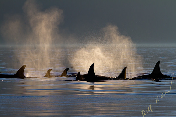 Northern resident killer whale group in Johnstone Strait, British Columbia, Canada