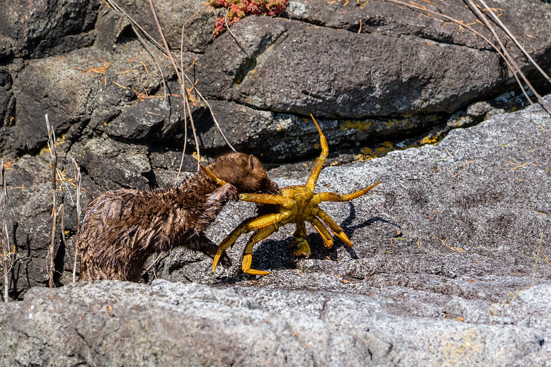 American mink (Neovison vison)  eating a helmet crab (Telmessus cheiragonus) along a shoreline in Broughton Archipelago Provincial Marine Park, First Nations Territory, British Columbia, Canada