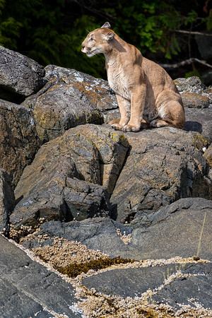 Cougar sitting on Gilford Island in the Broughton Archipelago Provincial Marine Park off Vancouver Island, British Columbia, Canada