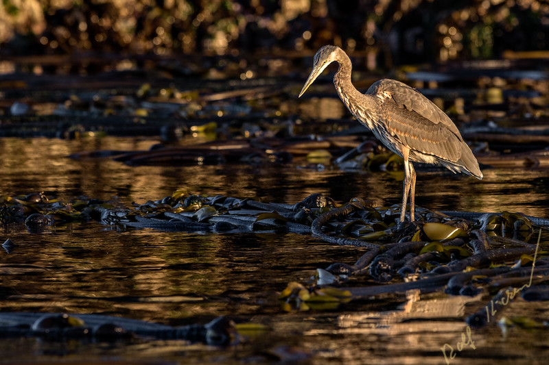 Great Blue Heron (Ardea herodias) waiting patiently on a kelp patch to catch a fish, Broughton Archipelago, First Nations Territory, British Columbia, Canada.