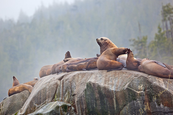 Steller sea lions (Eumetopias jubatus, aka northern sea lion) resting on a rock along the Great Bear Rainforest at the British Columbia coast, Canada.