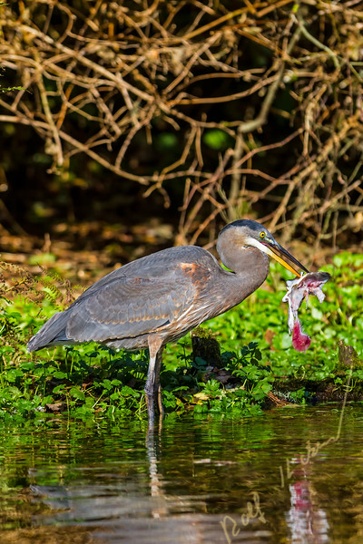 Great Blue Heron, Ardea herodias eating a piece of salmon, British Columbia, Canada.