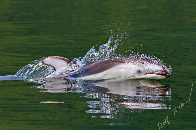 Wild Pacific White Sided Dolphin mirroring in its reflections, travelling with high speed in the waters of Knight Inlet, British Columbia, Canada.