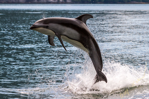 Pacific White Sided Dolphin (Lagenorhynchus obliquidens) jumping in Broughton Archipelago Marine Park in British Columbia, Canada.