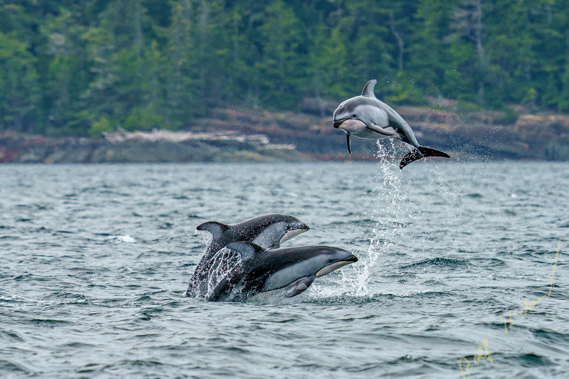 Three Pacific white-sided dolphins (Lagenorhynchus obliquidens) jumping and socializing in Johnstone Strait, First Nations Territory, British Columbia, Canada.