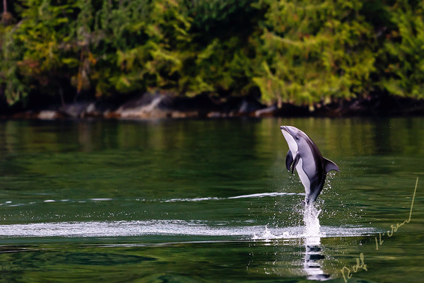 Pacific white sided dolphin jumping close to shore in Thompson Sound, Great Bear Rainforest, First Nations Territory, British Columbia, Canada.
