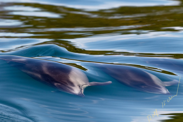 Pacific white-sided dolphin (Lagenorhynchus obliquidens) racing underneath the surface along the Great Bear Rainforest coastline, First Nations Territory, British Columbia, Canada.