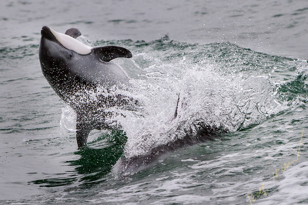 Pacific White Sided Dolphin jumping, back flip in Broughton Archipelago Marine Park, British Columbia, Canada.
