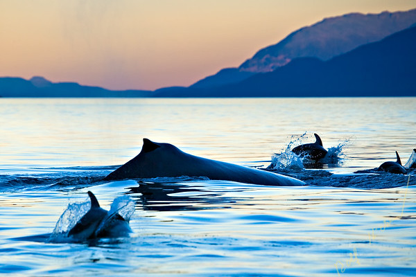 Pacific White Sided Dolphins, Humpback whale in Johnstone Strait off Northern Vancouver Island, British Columbia, Canada.