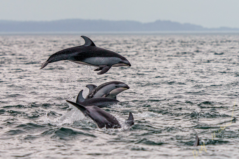 Pacific white-sided dolphins (Lagenorhynchus obliquidens) jumping and socializing in Johnstone Strait, First Nations Territory, British Columbia, Canada.